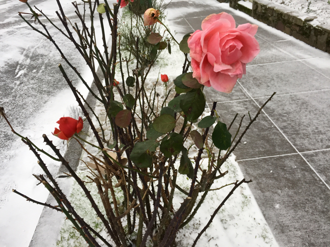 roses-in-snow
